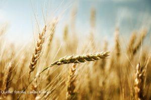 Weizen im Abendlicht