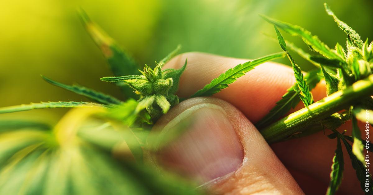 Sektor für medizinisches Cannabis blüht.