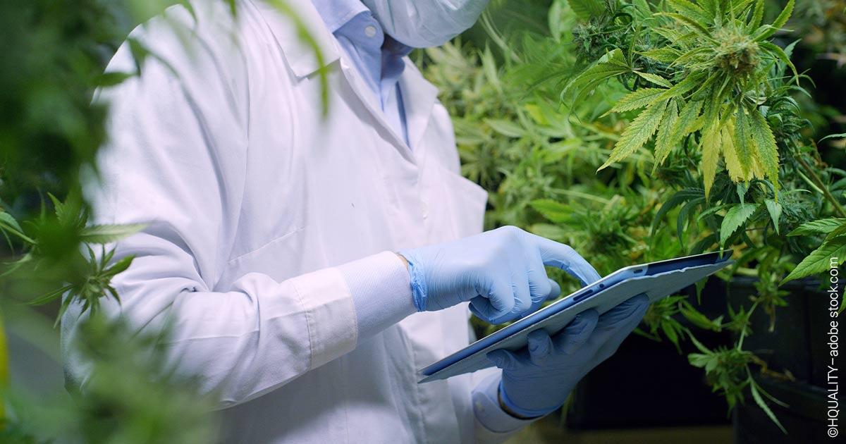 Anleger, die auf Cannabis setzen, befinden sich aktuell im Rendite-Rausch.